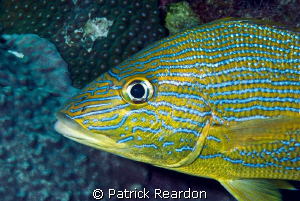 Portrait of a Bluestriped Grunt.  Nikon D200, 105mm. by Patrick Reardon 